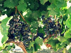 Grapes in the Concha y Toro vineyard just south of Santiago, Chile